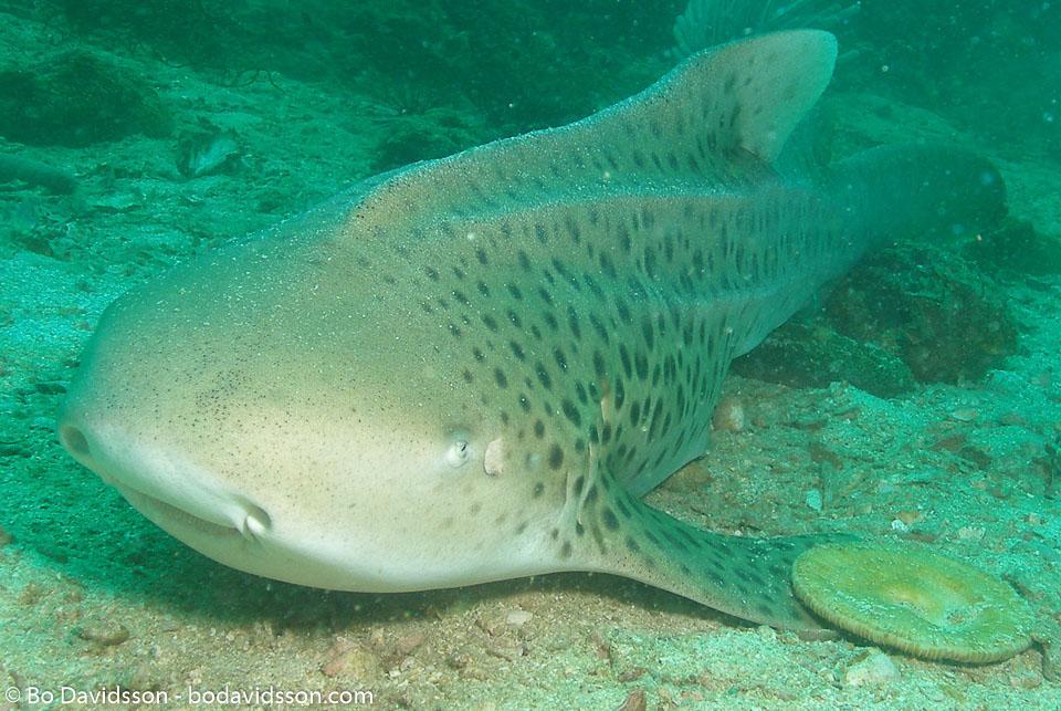 BD-070410-Ao-Nang--Stegostoma-fasciatum-(Hermann.-1783)-[Zebra-shark.-Sebrahaj].jpg